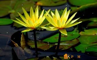 желтые водяные лилии