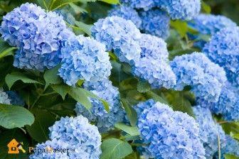 Декоративные кустарники цветущие - Гортензия