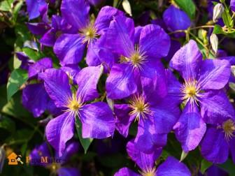 клематисы – жемчужины сада