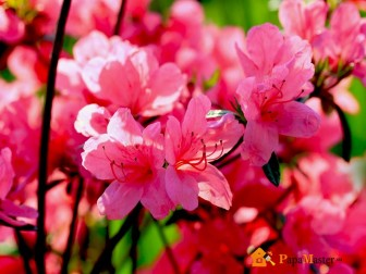 рододендрон  (rhododéndron)