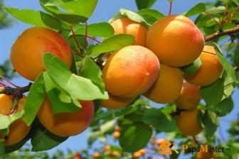 лучшие сорта абрикоса и уход за ними
